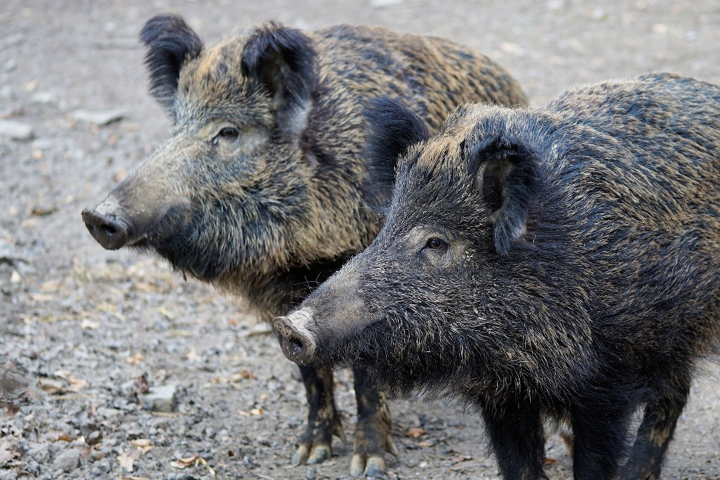Wildschweine am Tegeler See