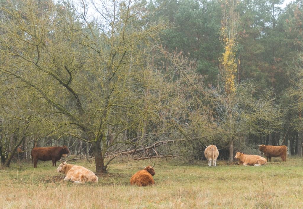 Bogenseekette - Rinder