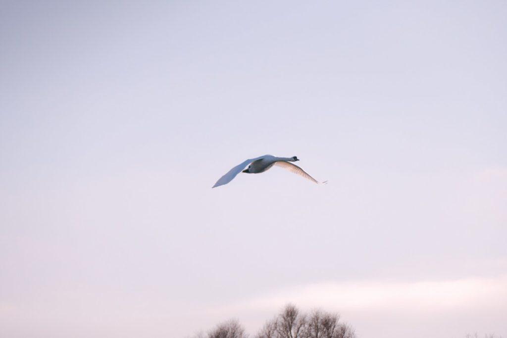 Schwan über dem Fahrlander See
