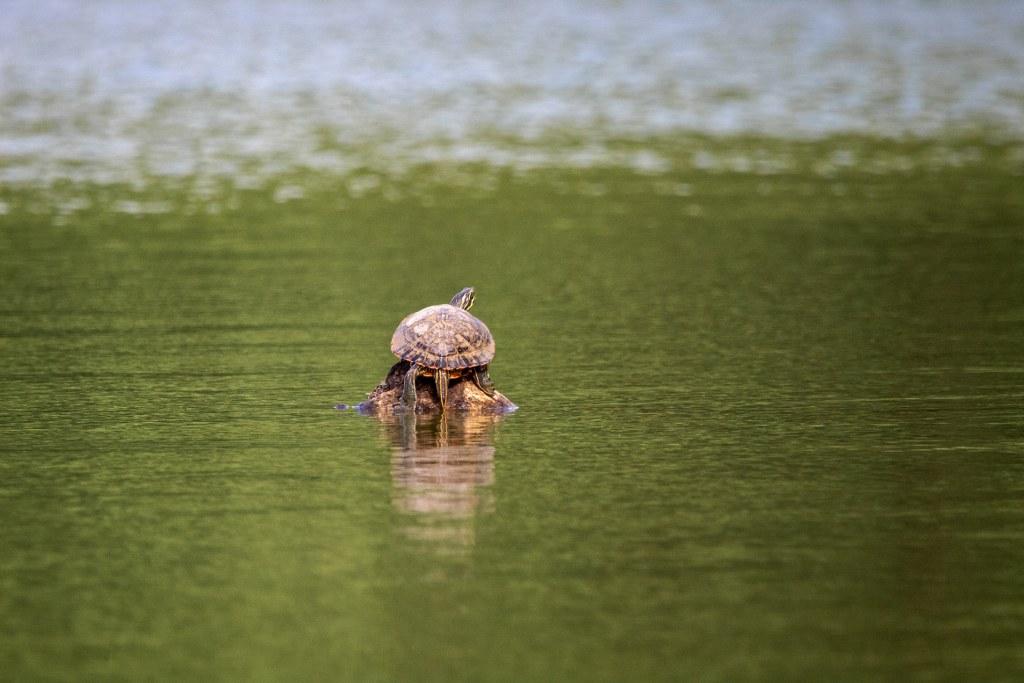 Engelbecken Schildkröte
