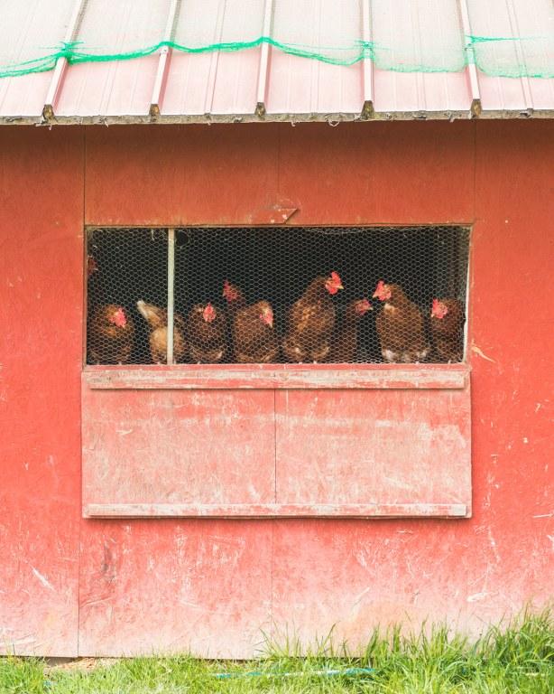 Hühner auf dem Vierfelderhof