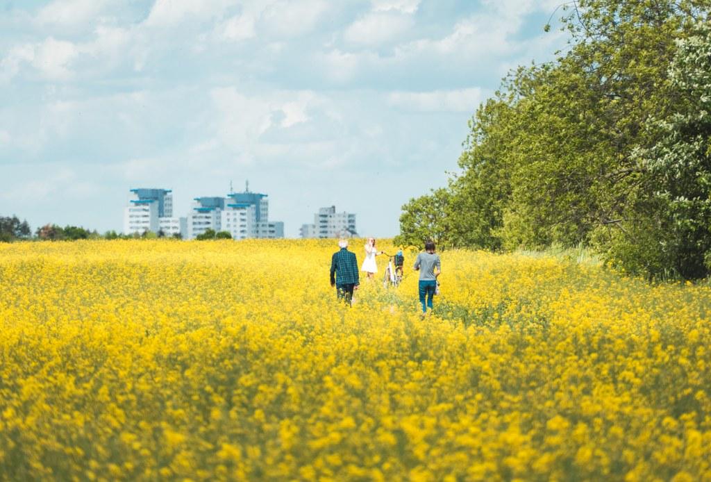 Rapsfeld am Mauerweg in Südberlin
