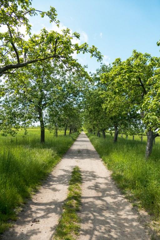 Allee aus Obstbäumen Falkenberger Rieselfelder