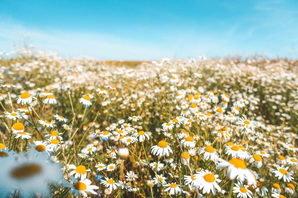Blumenwiese Falkenberger Rieselfelder