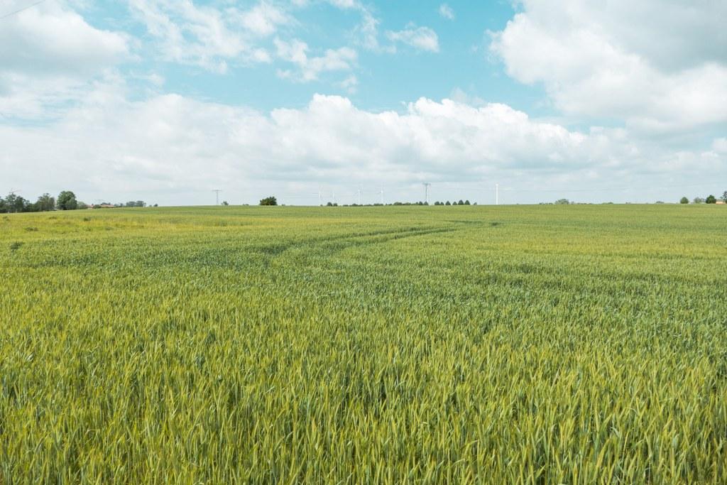 Getreidefelder auf den Falkenberger Rieselfeldern
