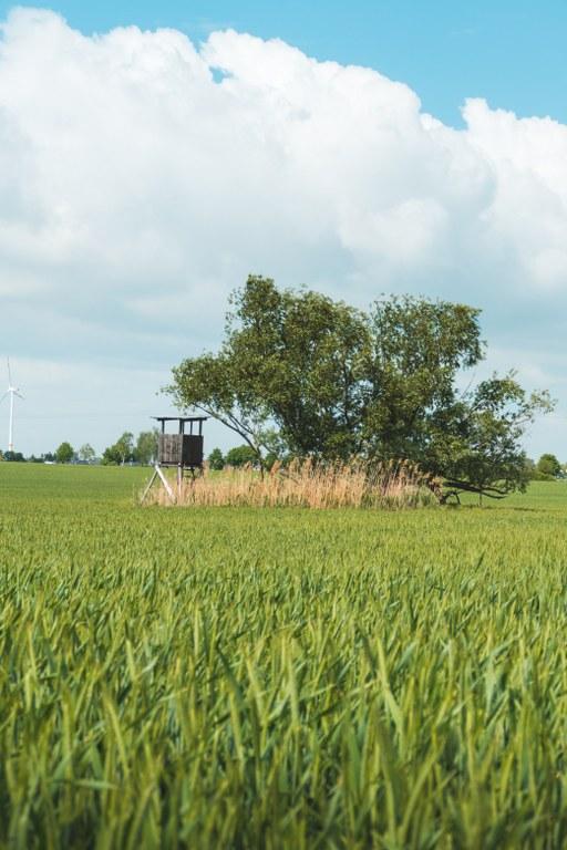 Hochsitz auf einem Getreidefeld Falkenberger Rieselfelder