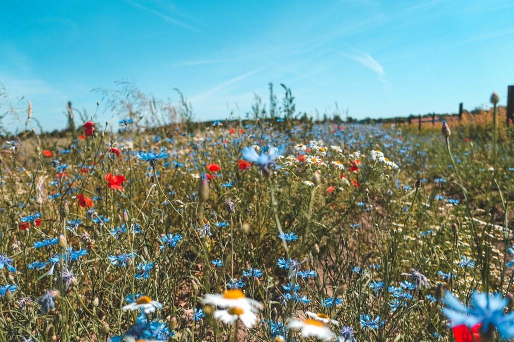 Wildblumenwiese Falkenberger Rieselfelder